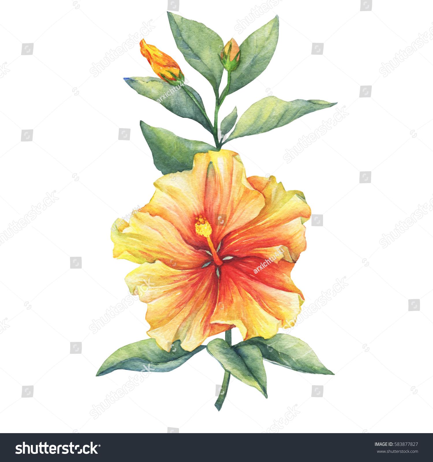 Yellowred hibiscus flower hand drawn watercolor stock illustration yellow red hibiscus flower hand drawn watercolor painting on white background izmirmasajfo