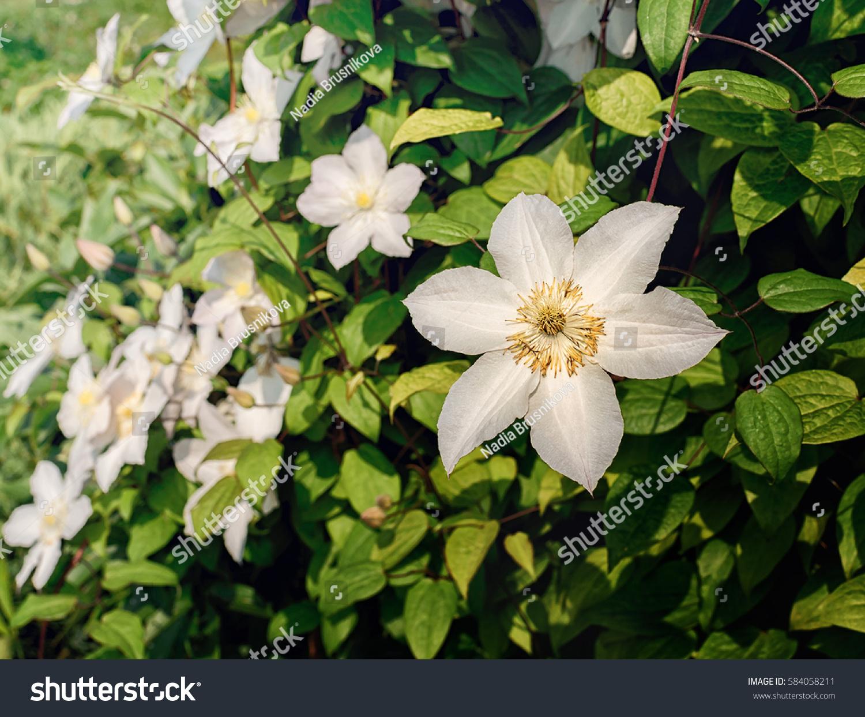 White Flowers On Tree In The Garden Like Jasmine Ez Canvas