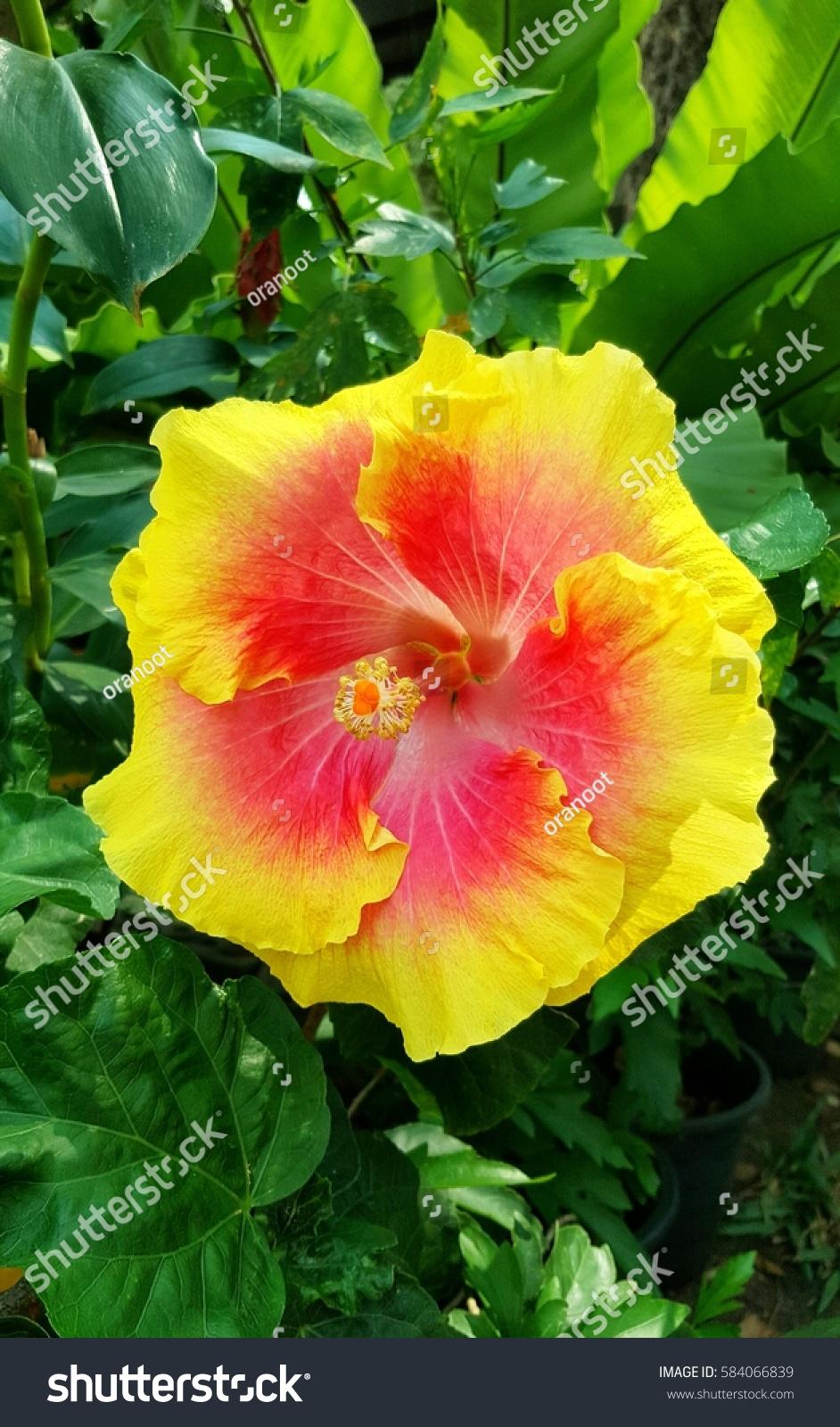 Beautiful Hibiscus Yellow Hibiscus Hibiscus Flower Ez Canvas