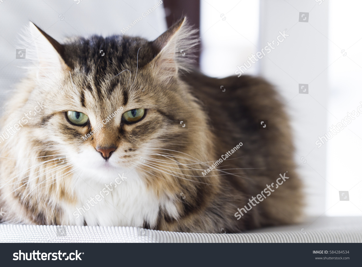 Pretty Cat Brown Version Siberian Breed Stock