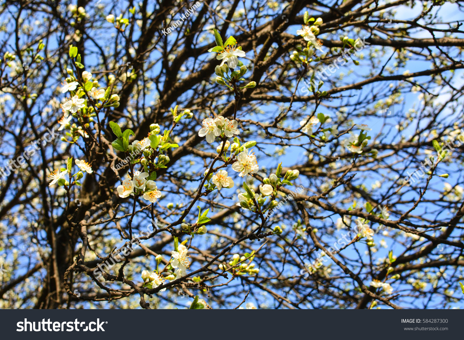 Apple Tree Spring Blooms Soft Background Stock Photo 584287300
