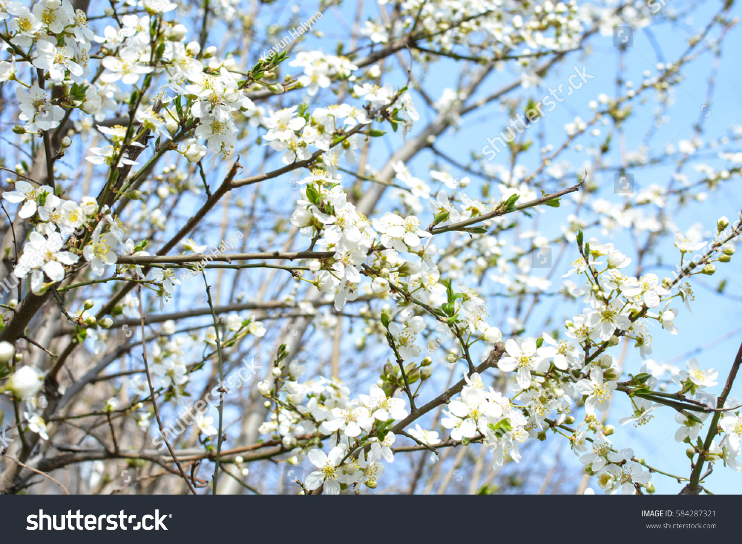 Apple Tree Spring Blooms Soft Background Stock Photo 100 Legal