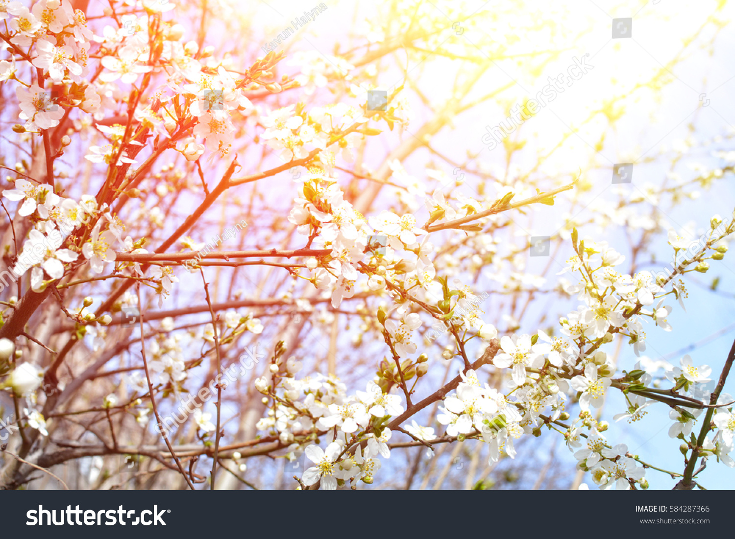 Apple Tree Spring Blooms In Soft Background Of Branches And Sky