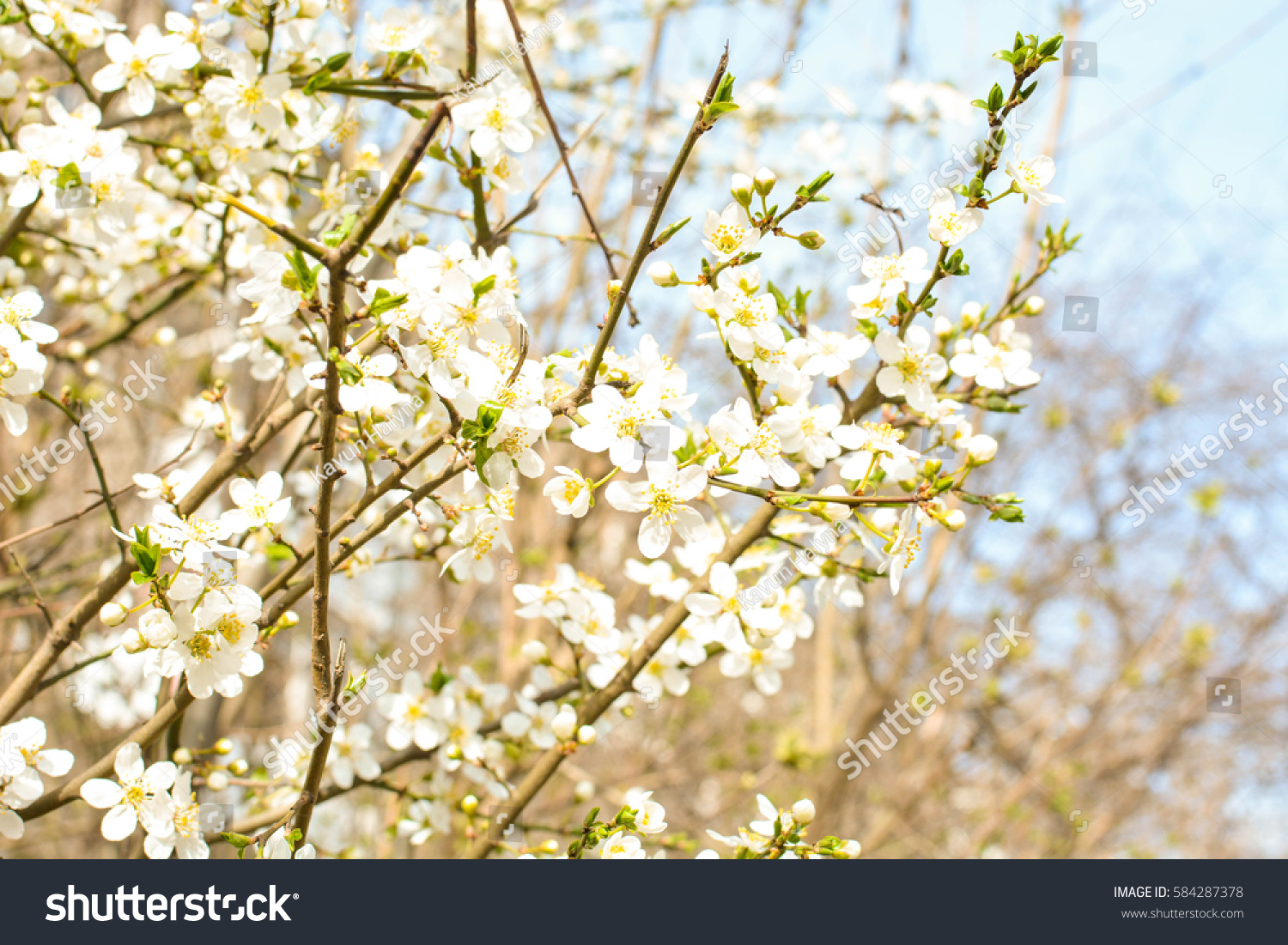 Apple tree spring blooms soft background stock photo 584287378 apple tree spring blooms in soft background of branches and sky early spring white mightylinksfo