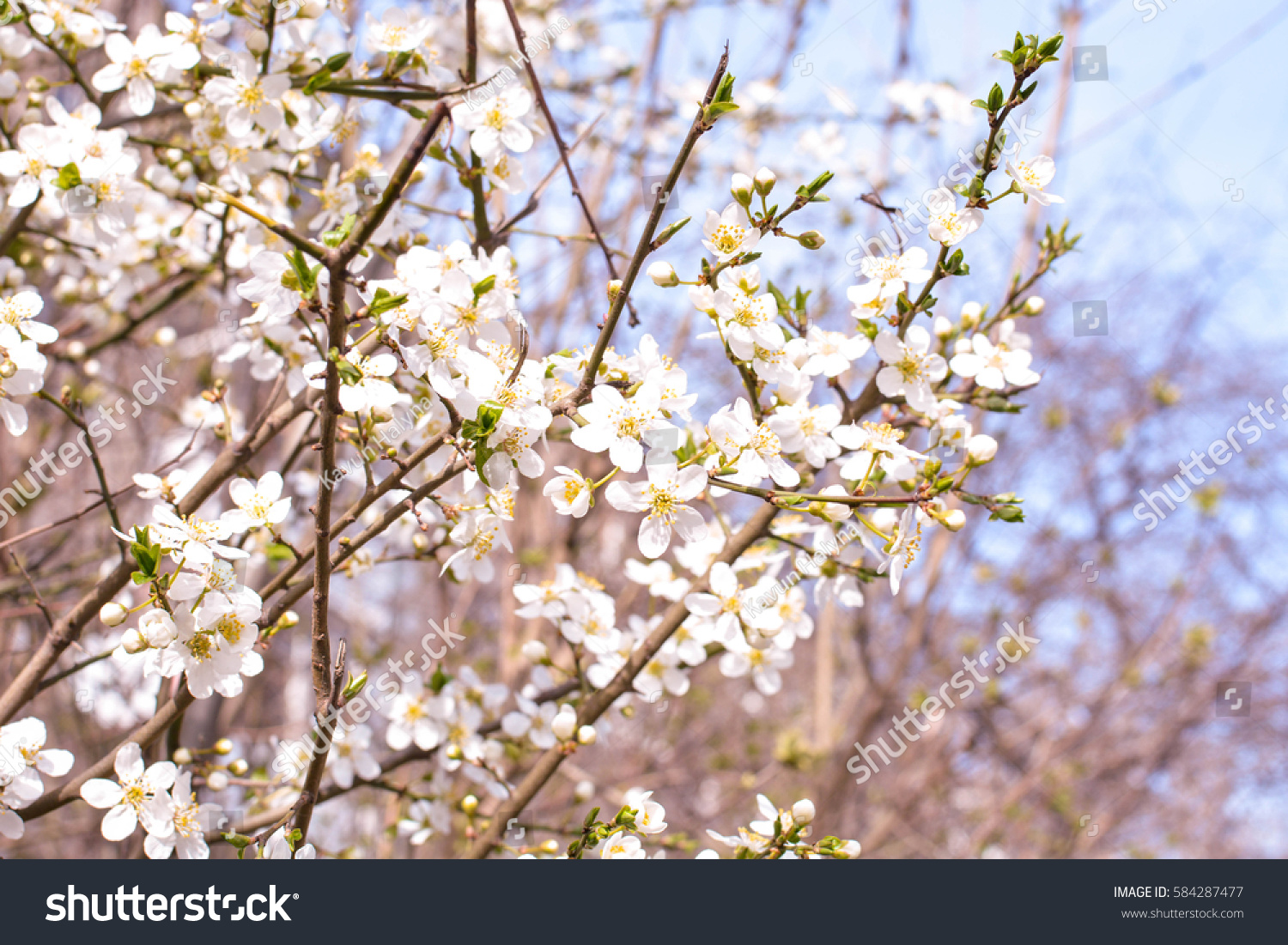 Apple Tree Spring Blooms Soft Background Stock Photo Edit Now