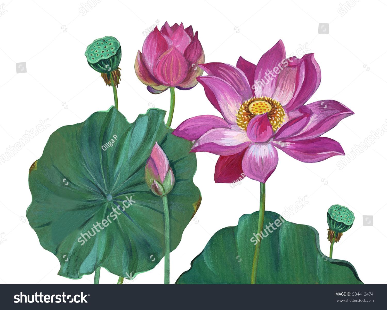 Lotus Flowers Buds Leaves Painting Lotus Stock Illustration