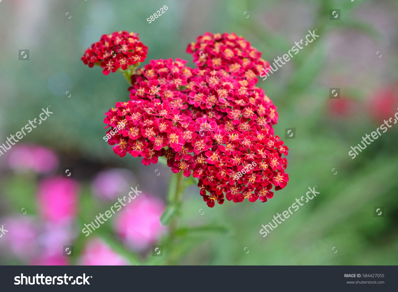 Tiny Cluster Red Flowers Yellow Orange Stock Photo Edit Now