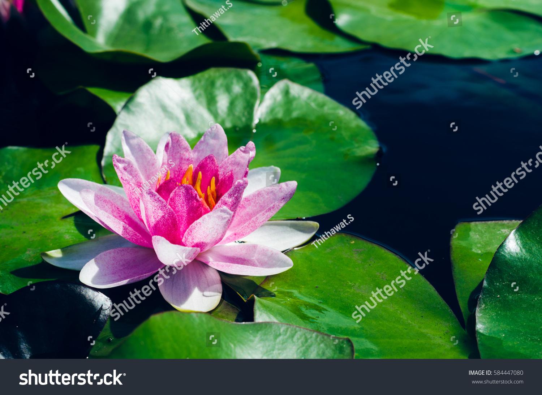 Beautiful lotus flower pond stock photo royalty free 584447080 beautiful lotus flower in pond izmirmasajfo
