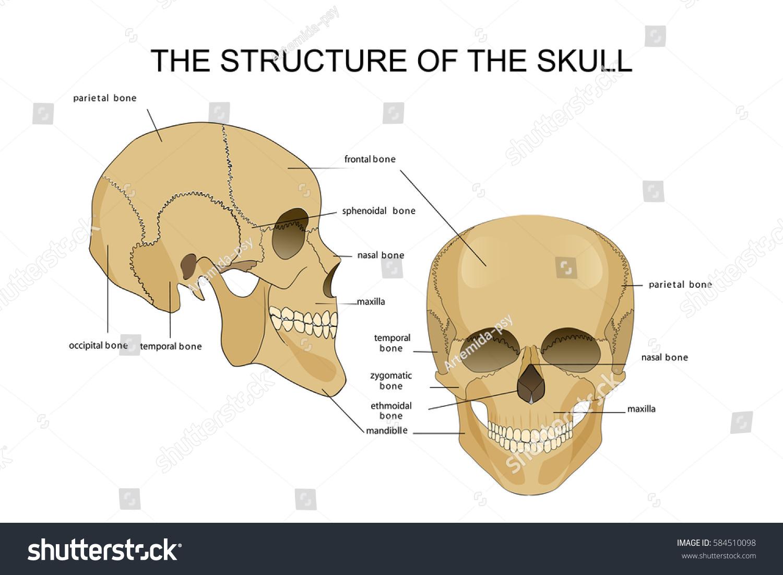 Vector Illustration Skull Structure Anatomy Stock Vector Royalty