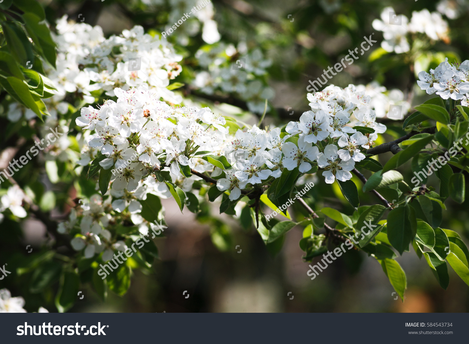 Cherry Tree Blossom Background Closeup Of Beautiful Branch With