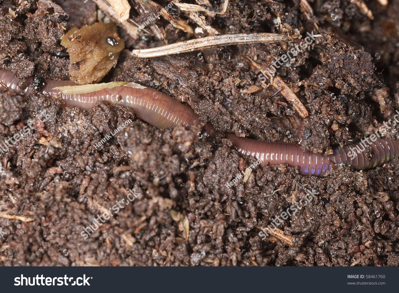 earthworm macro photo stock photo 58461760 shutterstock