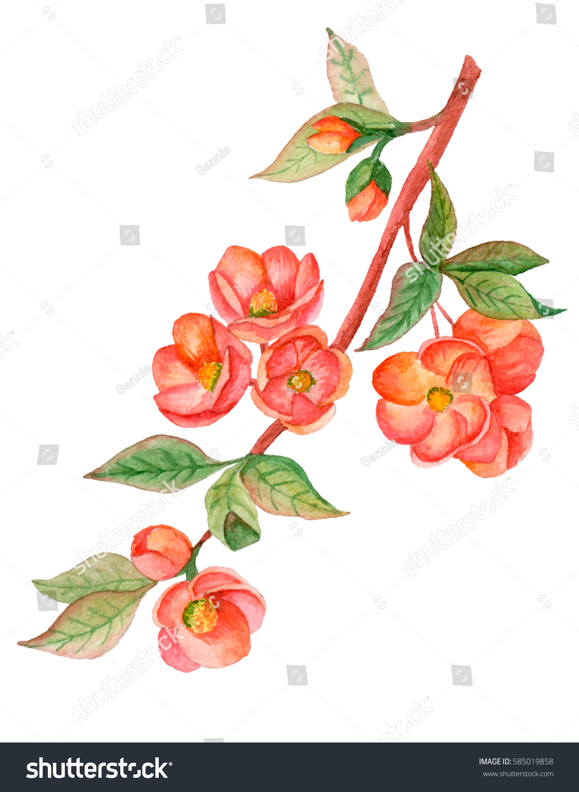 Watercolor illustration japanese quince blossom hand stock watercolor illustration of japanese quince in blossom hand drawn blooming branch isolated on white background biocorpaavc Image collections