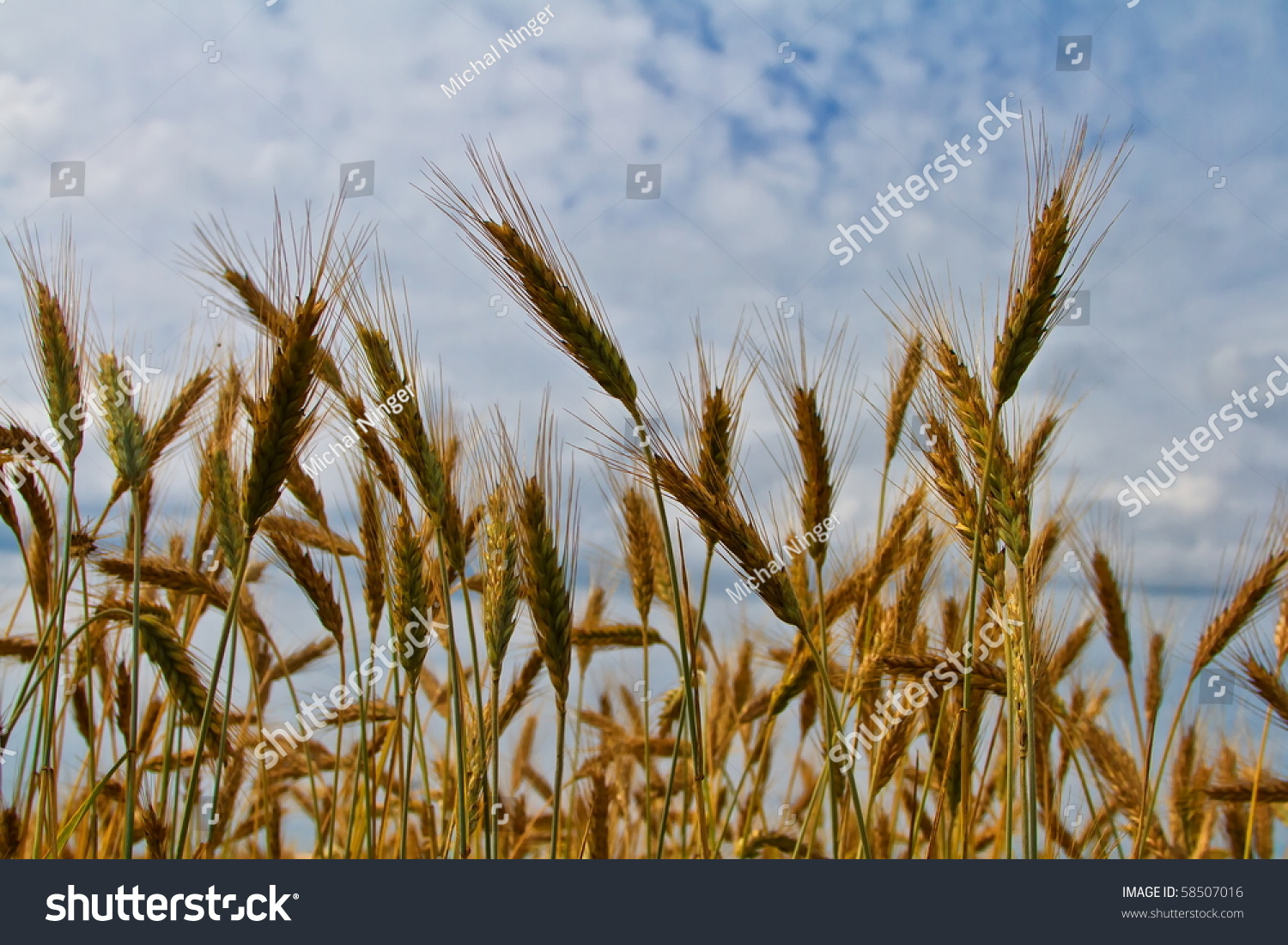 gold ears of wheat under afternoon sun