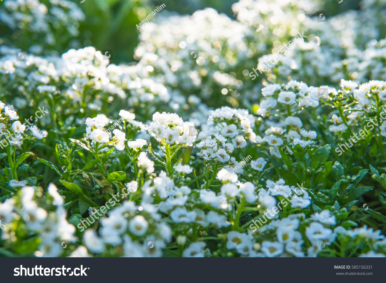 Bush little white flower stock photo 585156331 shutterstock bush of little white flower mightylinksfo Images