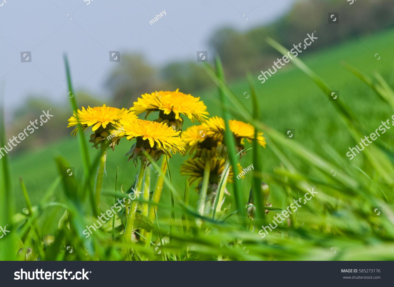 Blooming Dandelion Green Grass Yellow Flowering Stock Photo Edit