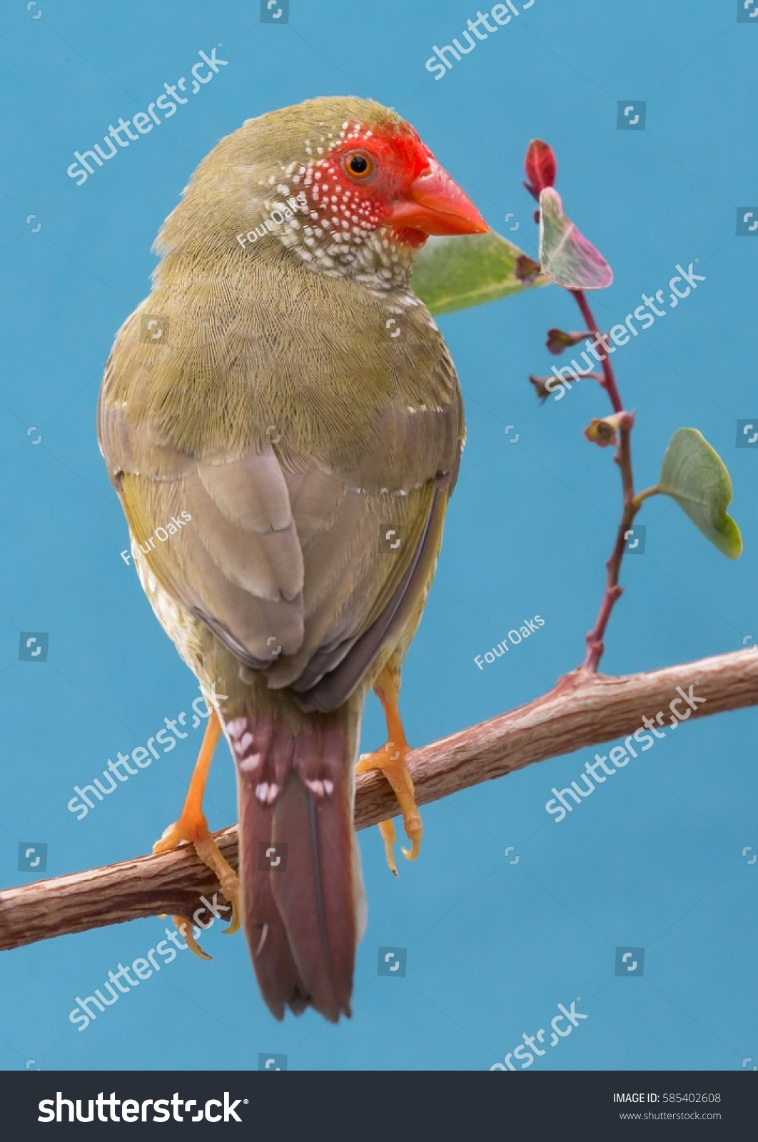 Beautiful star finch bird australia stock photo 585402608 beautiful star finch bird from australia biocorpaavc