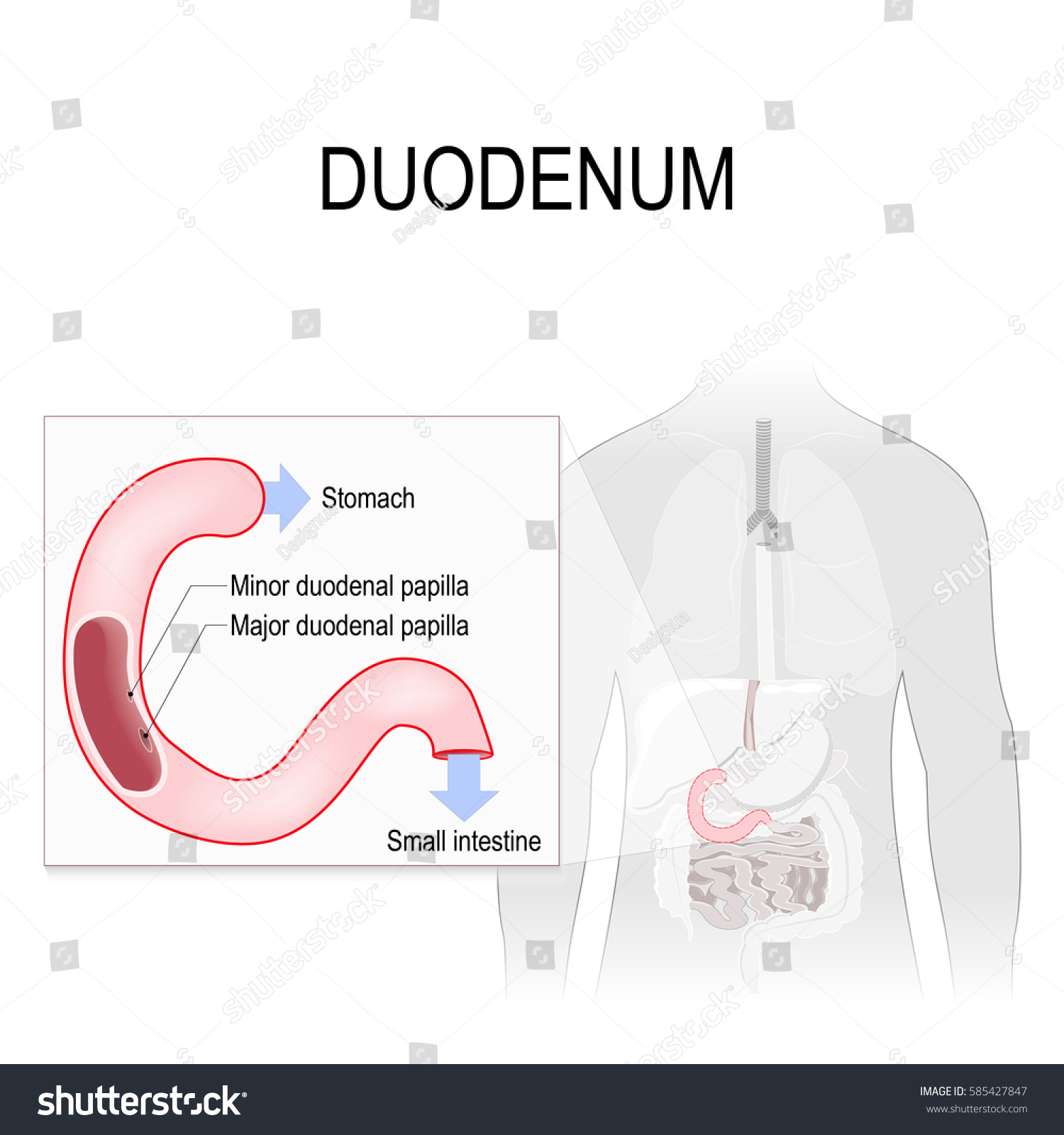Duodenum Anatomy Anatomical Locations Labelled Human Stock ...