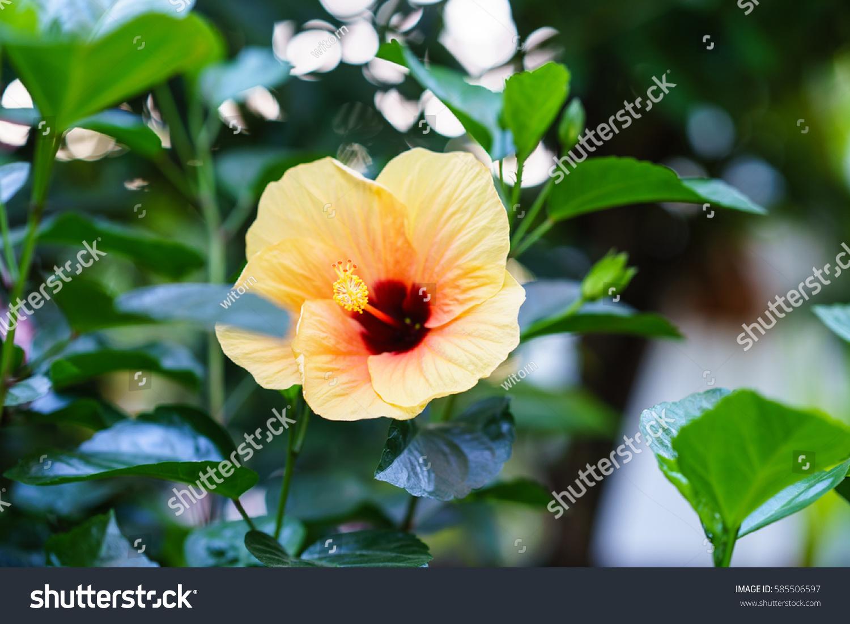Paper flower hibiscus stock photo edit now 585506597 shutterstock paper flower hibiscus izmirmasajfo