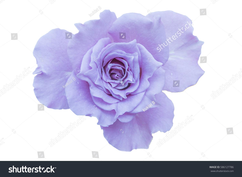Purple Rose Isolated On White Background Stock Photo 586127786