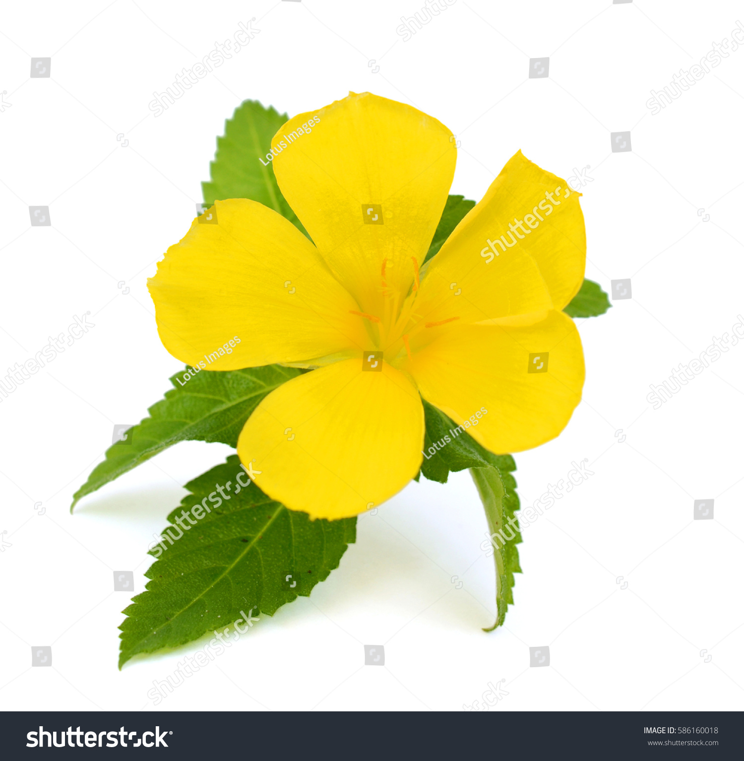 Beautiful Yellow Sage Rose Flower Turnera Stock Photo Edit Now