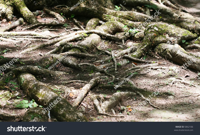 Tangled Roots Wind Around Jungle Floor Nature Stock Image 5862106
