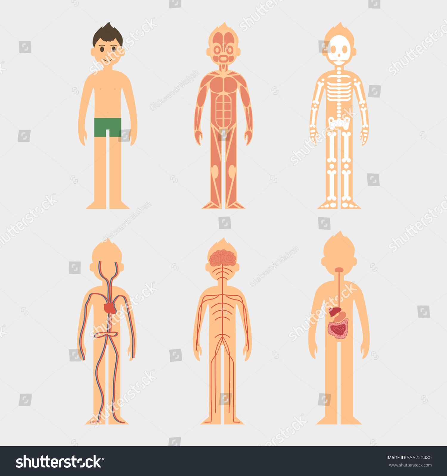 Stylized Male Body Anatomy Chart Men Stock Vector 586220480