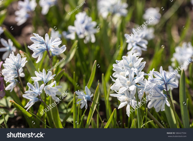 Small White Spring Flowers Close Puschkinia Stock Photo Edit Now