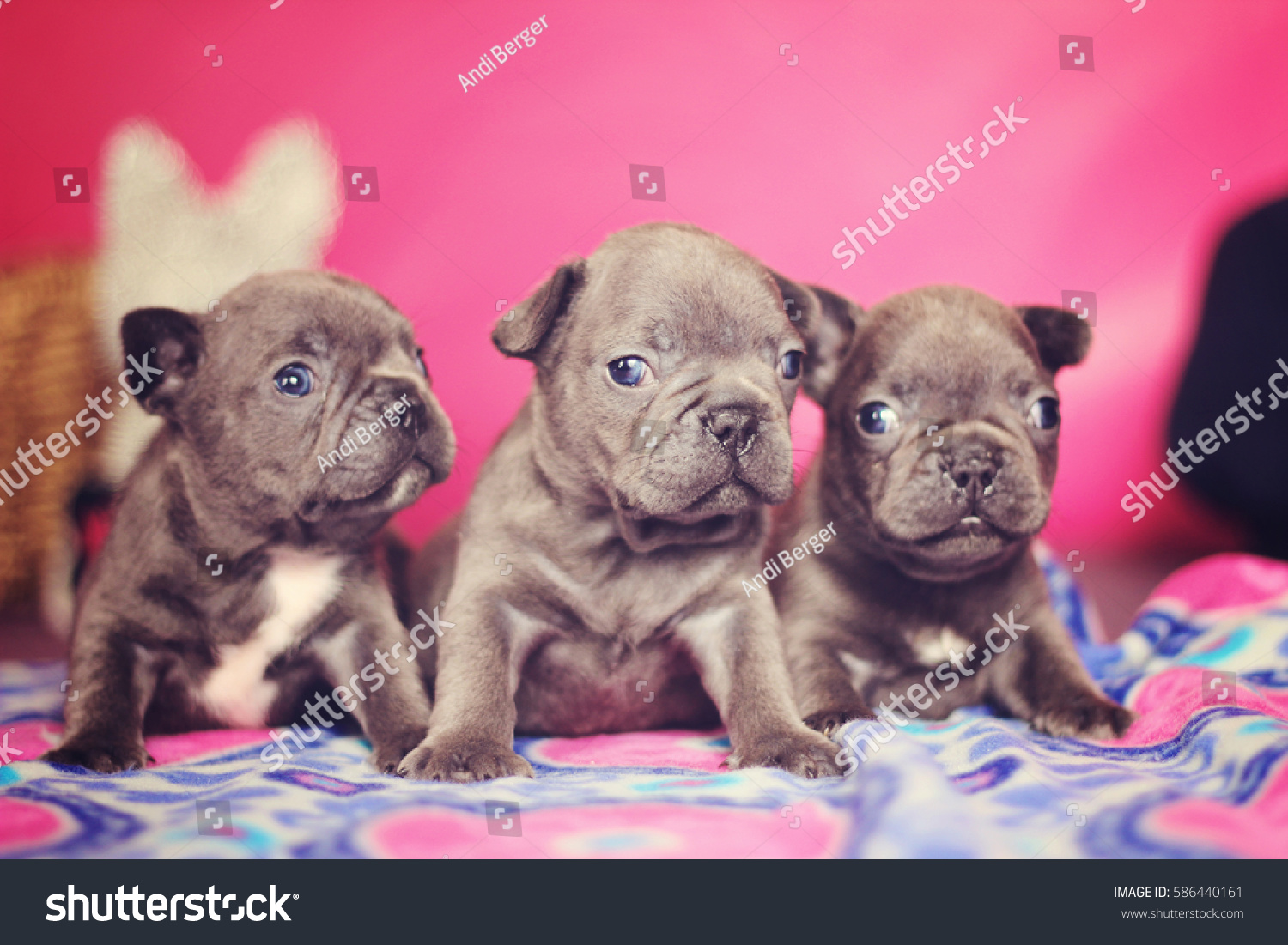 Litter Blue French Bulldog Puppies Stock Photo (Edit Now