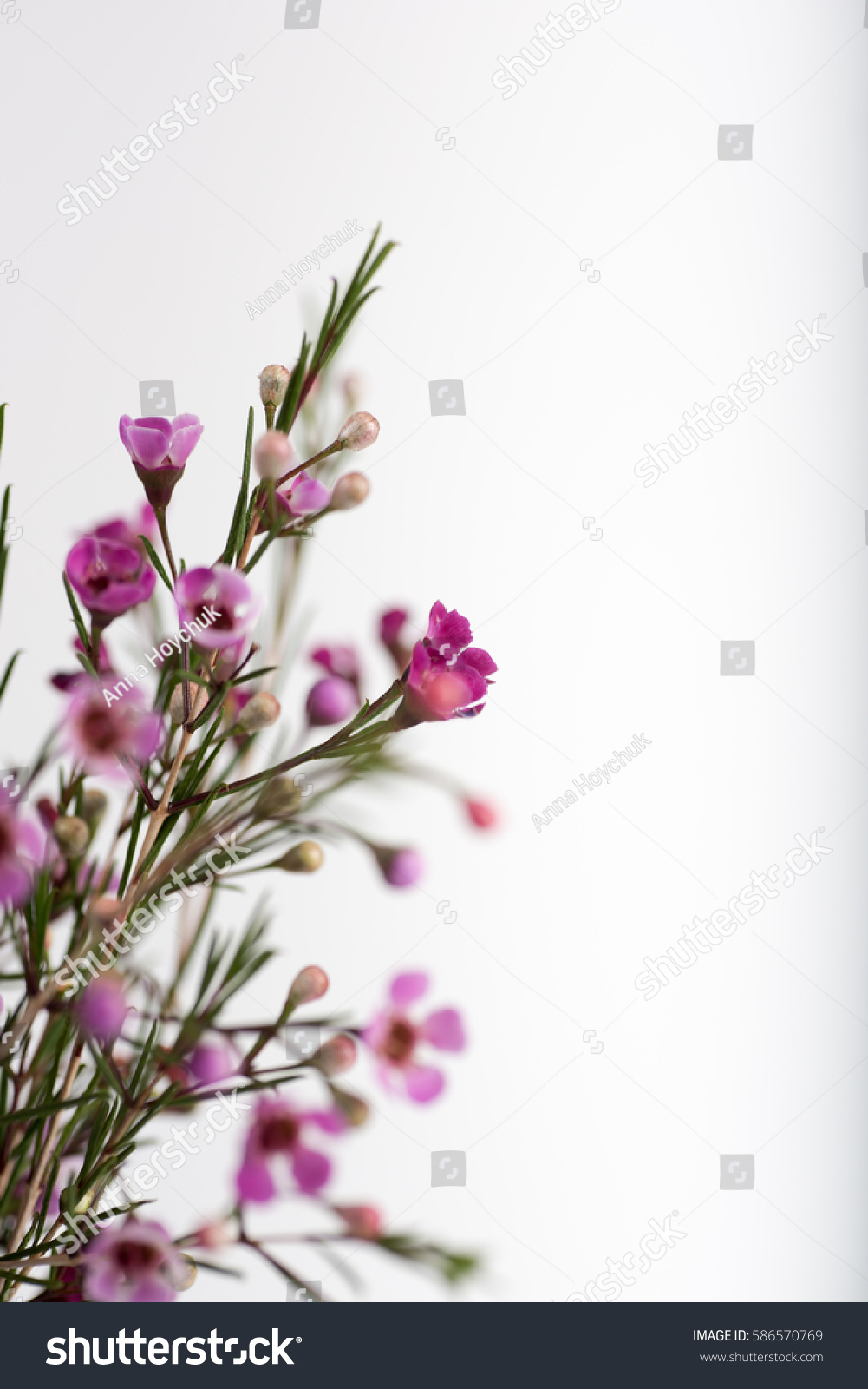 Bouquet Pink White Wax Flowers Green Stock Photo Edit Now