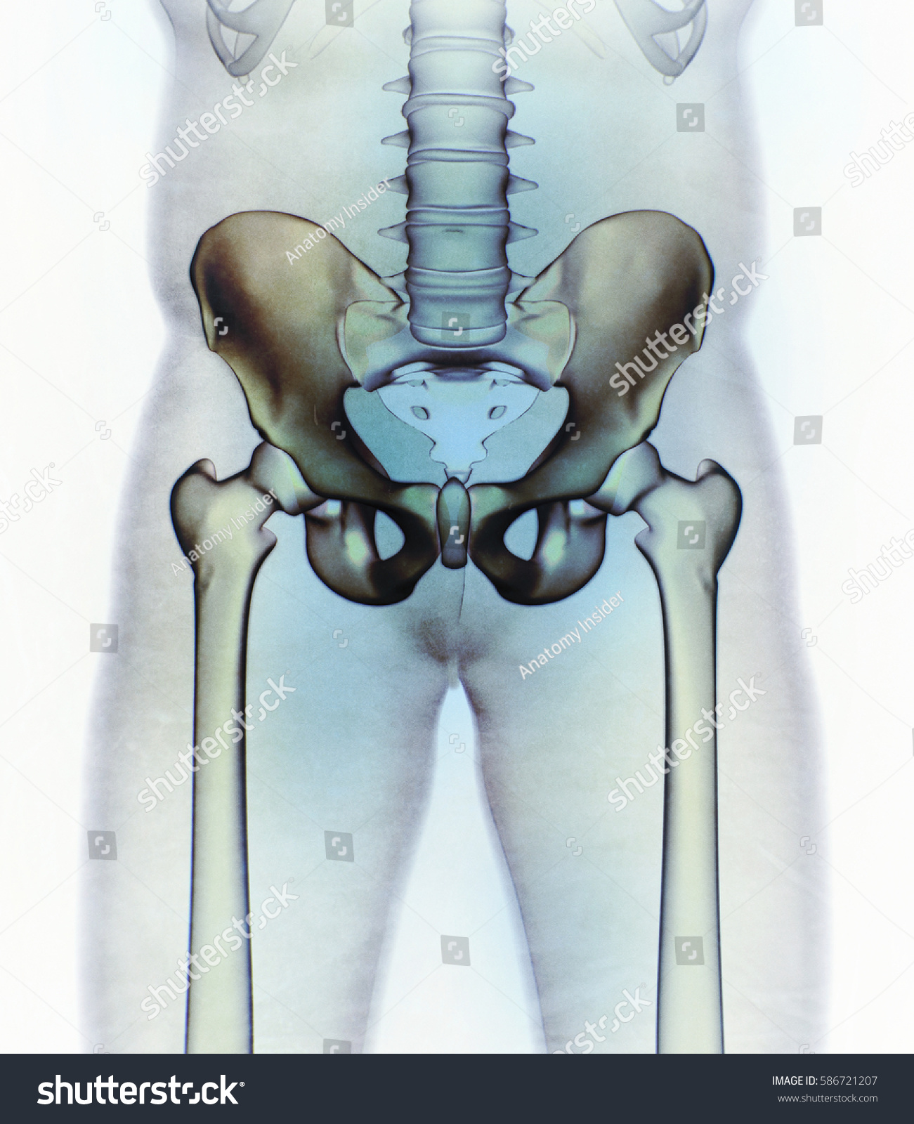 Ilium Bone Hip Bone Pelvis Human Stockillustration 586721207