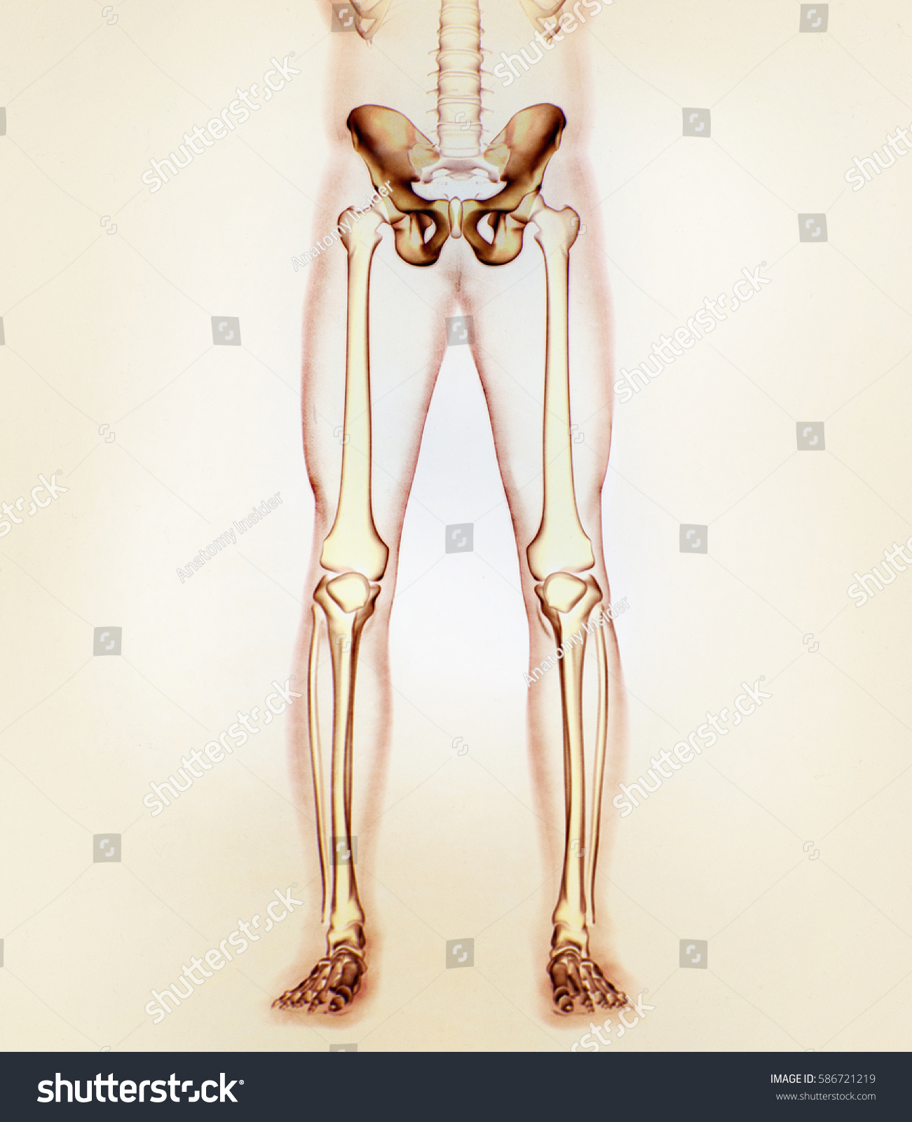 Ilium Bone Hip Bone Pelvis Human Stock Illustration 586721219