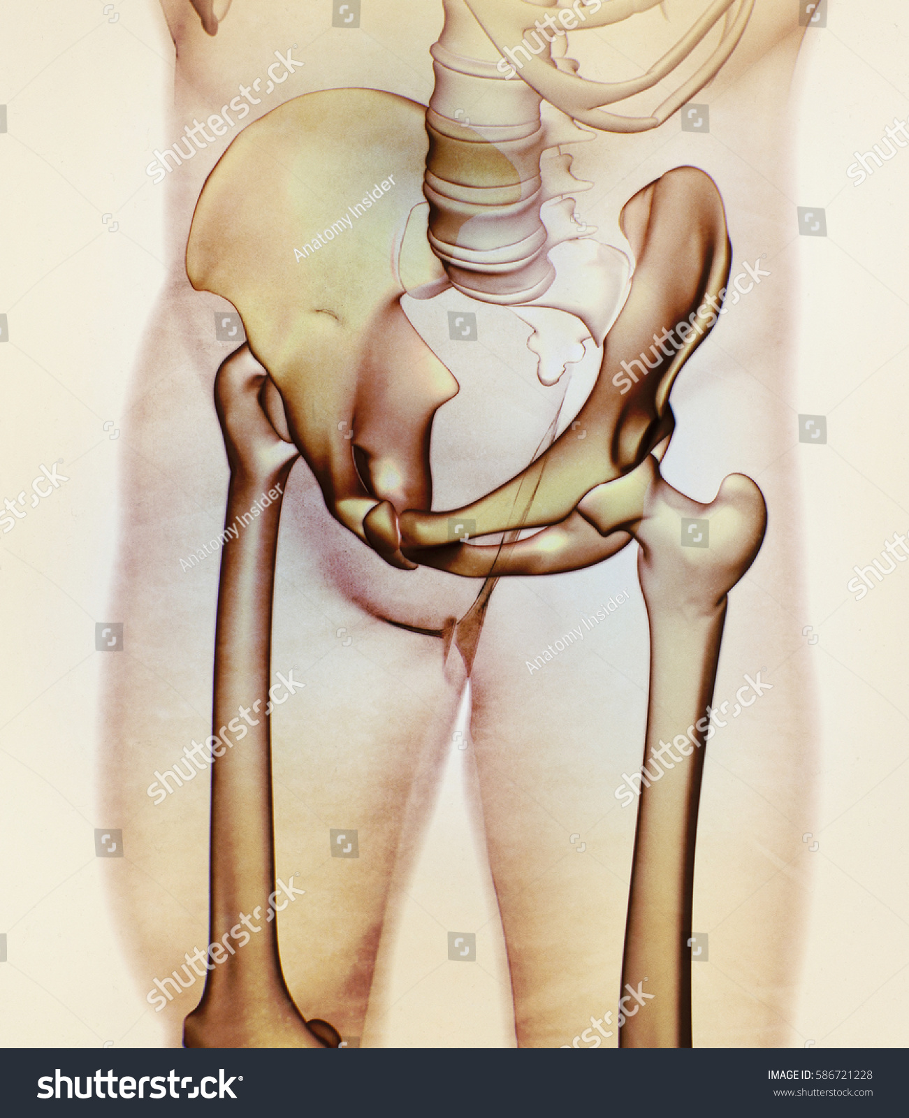 Ilium Bone Hip Bone Pelvis Human Stock Illustration 586721228 ...