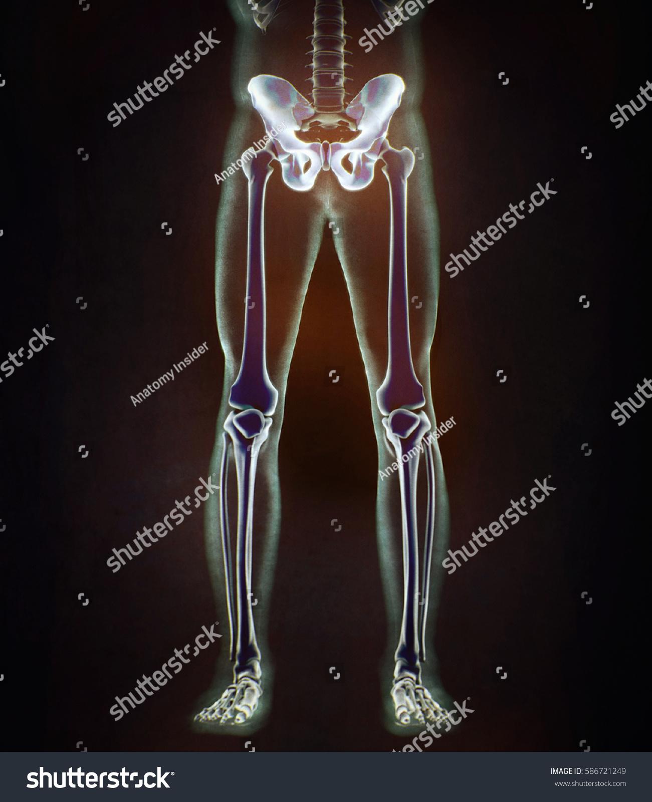Ilium Bone Hip Bone Pelvis Human Stock Illustration 586721249 ...