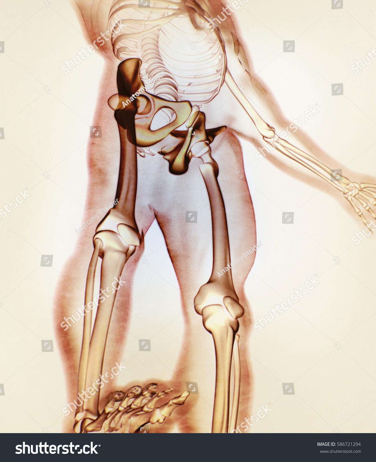 Ilium Bone Hip Bone Pelvis Human Stock Illustration 586721294 ...