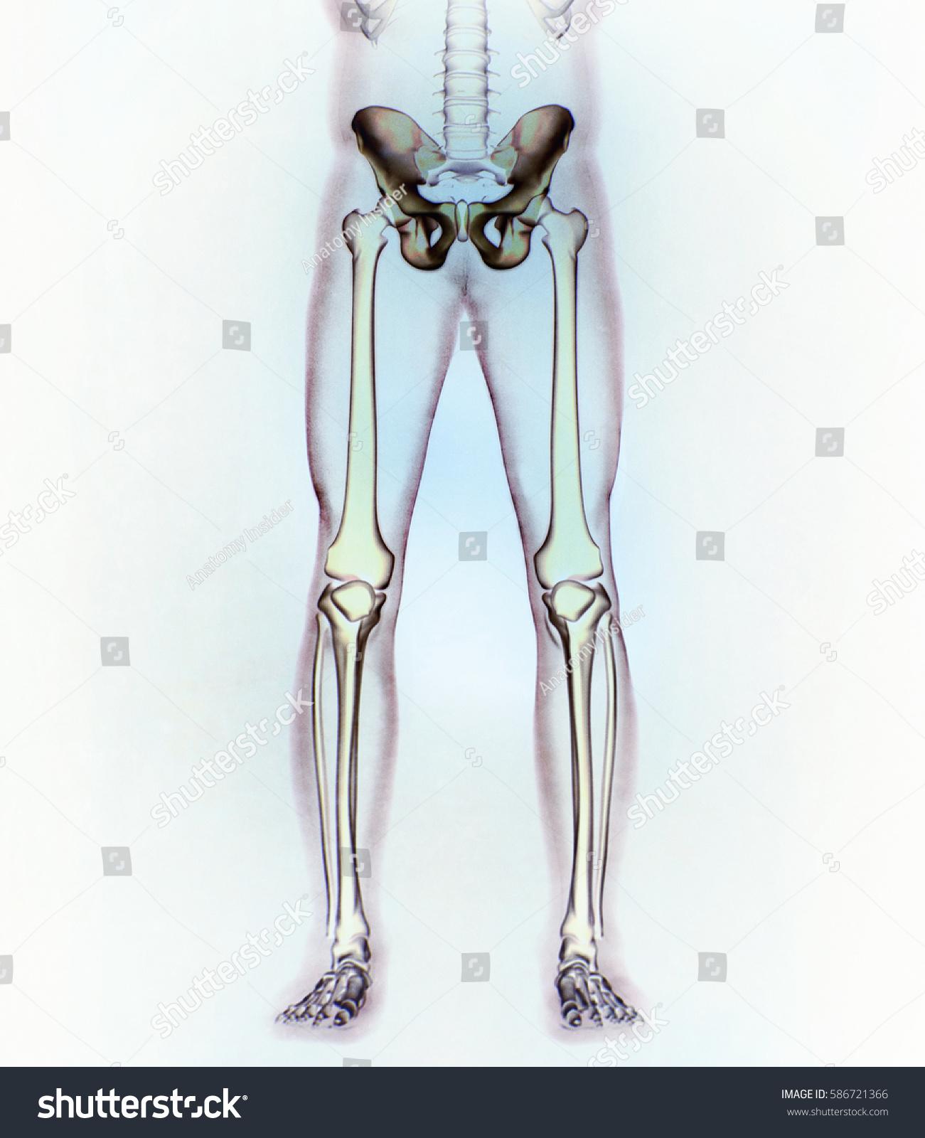 Ilium Bone Hip Bone Pelvis Human Stock Illustration 586721366 ...
