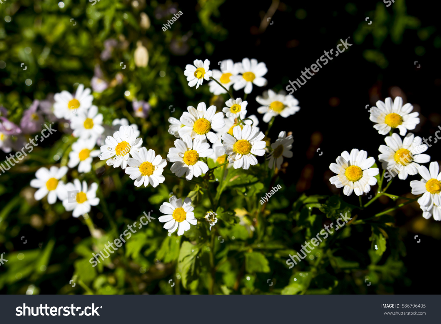 Pretty White Flowers Tanacetum Parthenium Feverfew Stock Photo