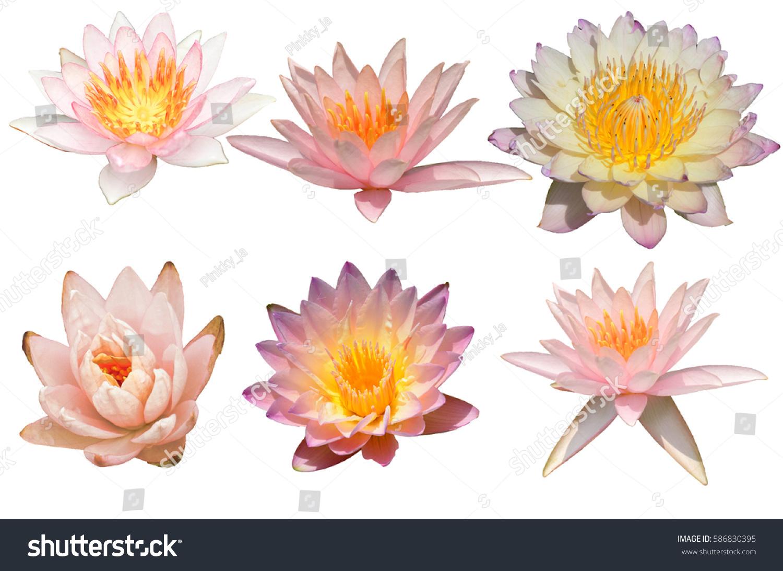 Orange lotus flower isolated stock photo edit now 586830395 orange lotus flower isolated izmirmasajfo