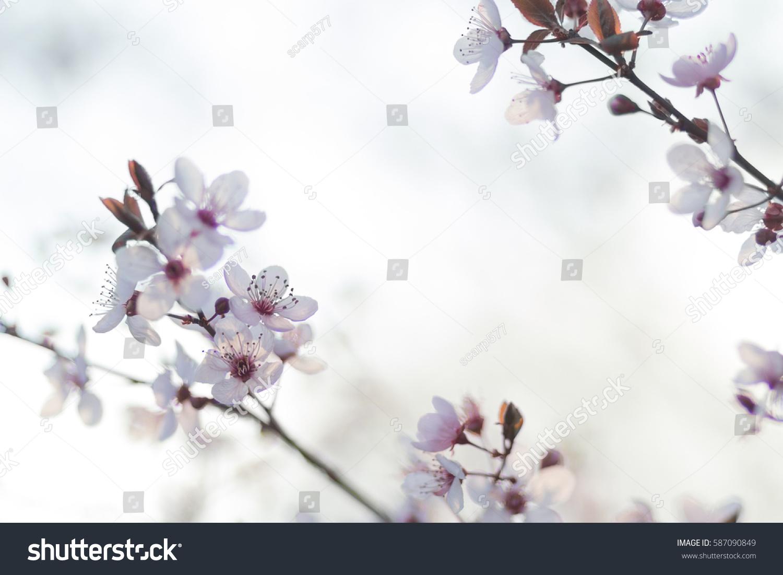Ornamental Plum Tree Spring Flower Buds Stock Photo Royalty Free