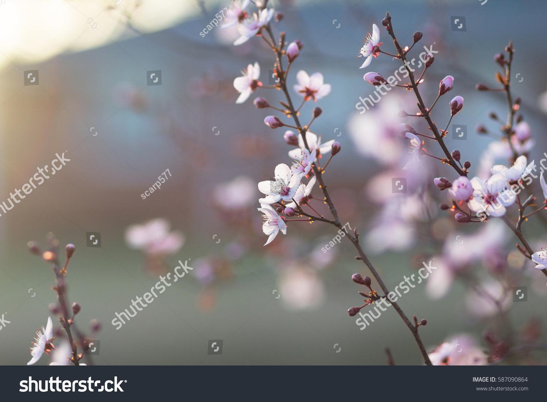 Ornamental Plum Tree Spring Flower Buds Stock Photo Edit Now