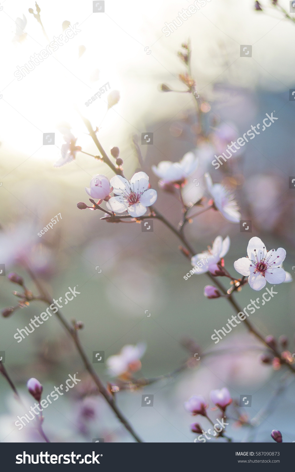 Ornamental plum tree spring flower buds stock photo edit now ornamental plum tree spring flower buds and blossoms on branches in evening mightylinksfo