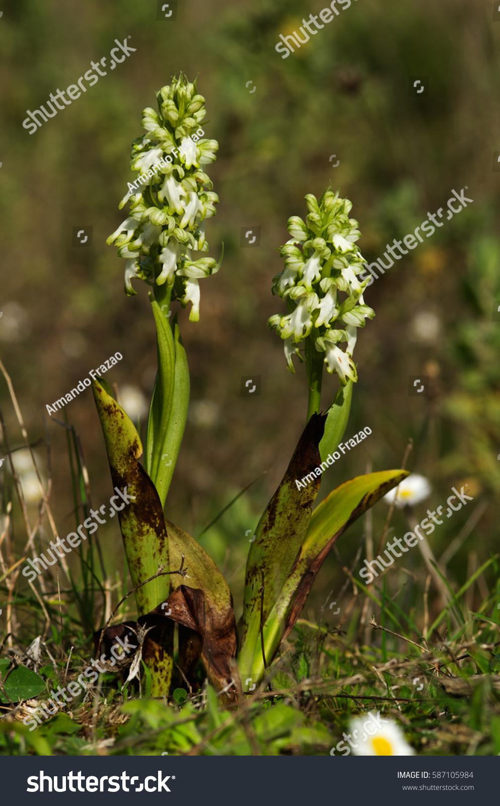 Two Plants Rare Hypochromic Form Wild Stock Photo Royalty Free