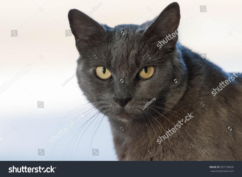 Grey Russian Blue Cat Stock Shutterstock