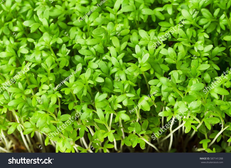 Garden Cress Young Plants Macro Photo Stock Photo 587141288