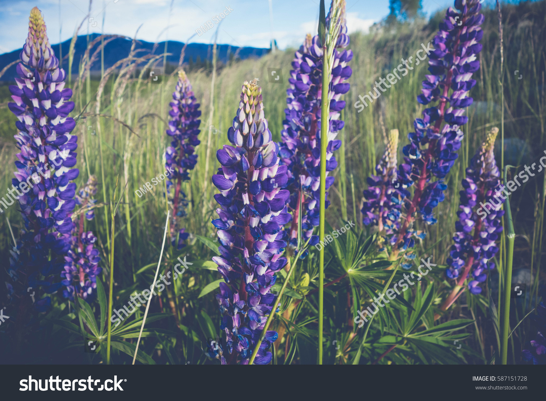 Tall Purple Flowers Grass Stock Photo Edit Now 587151728