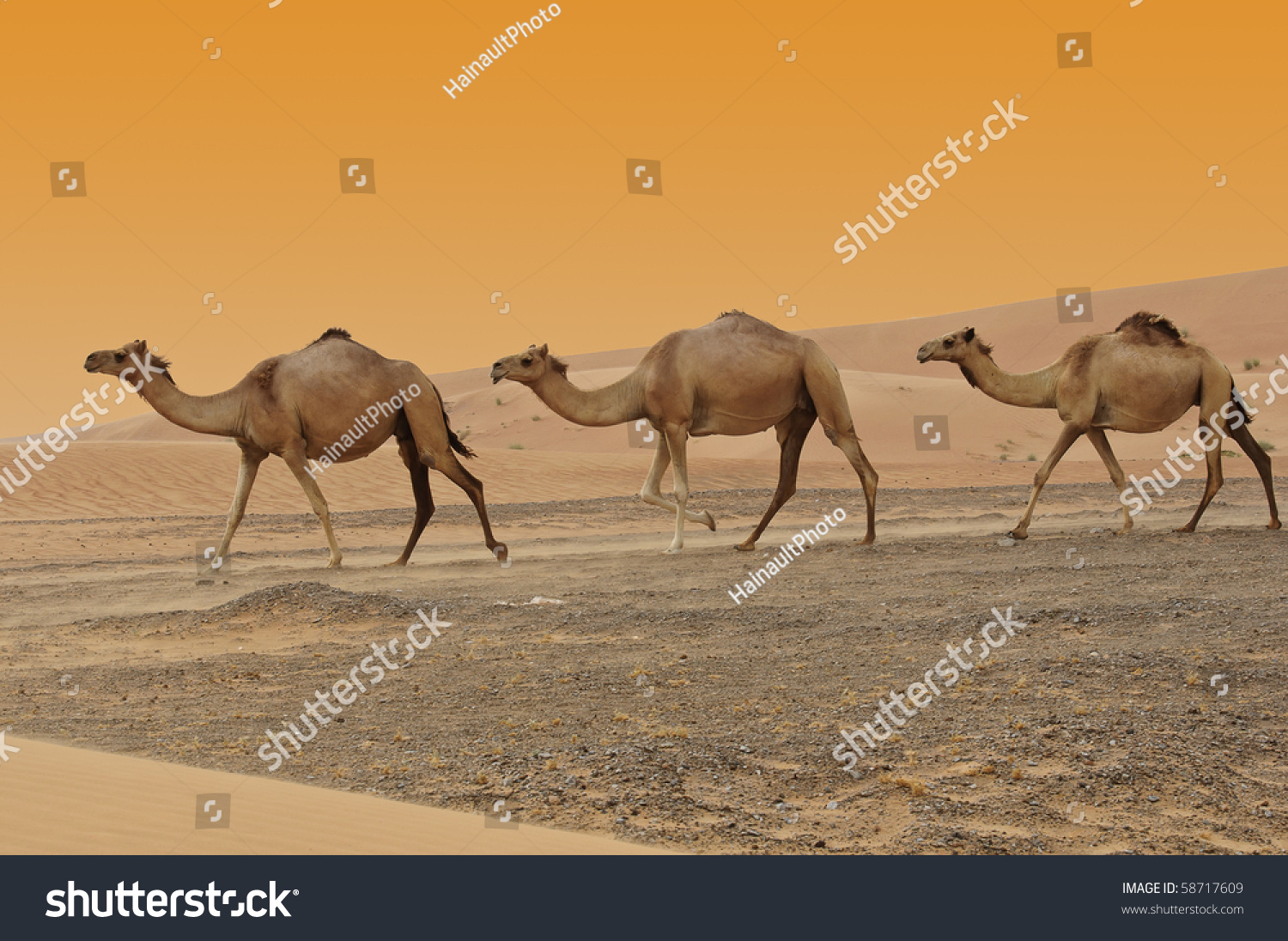 Three Camels In A Dubai Desert At Sunset Stock Photo ...