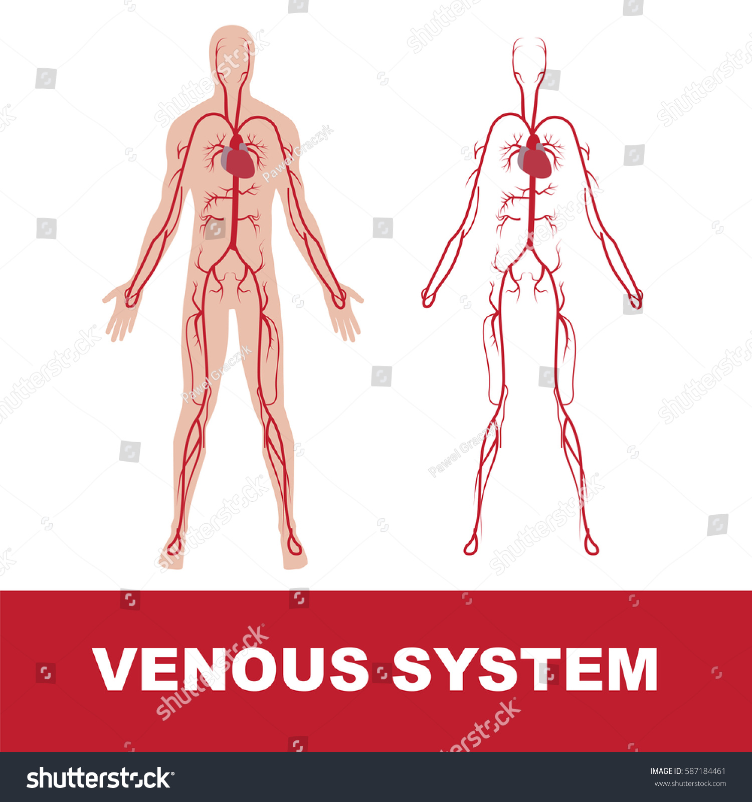 Vector Illustration Human Venous System Isolated Stock Vector ...