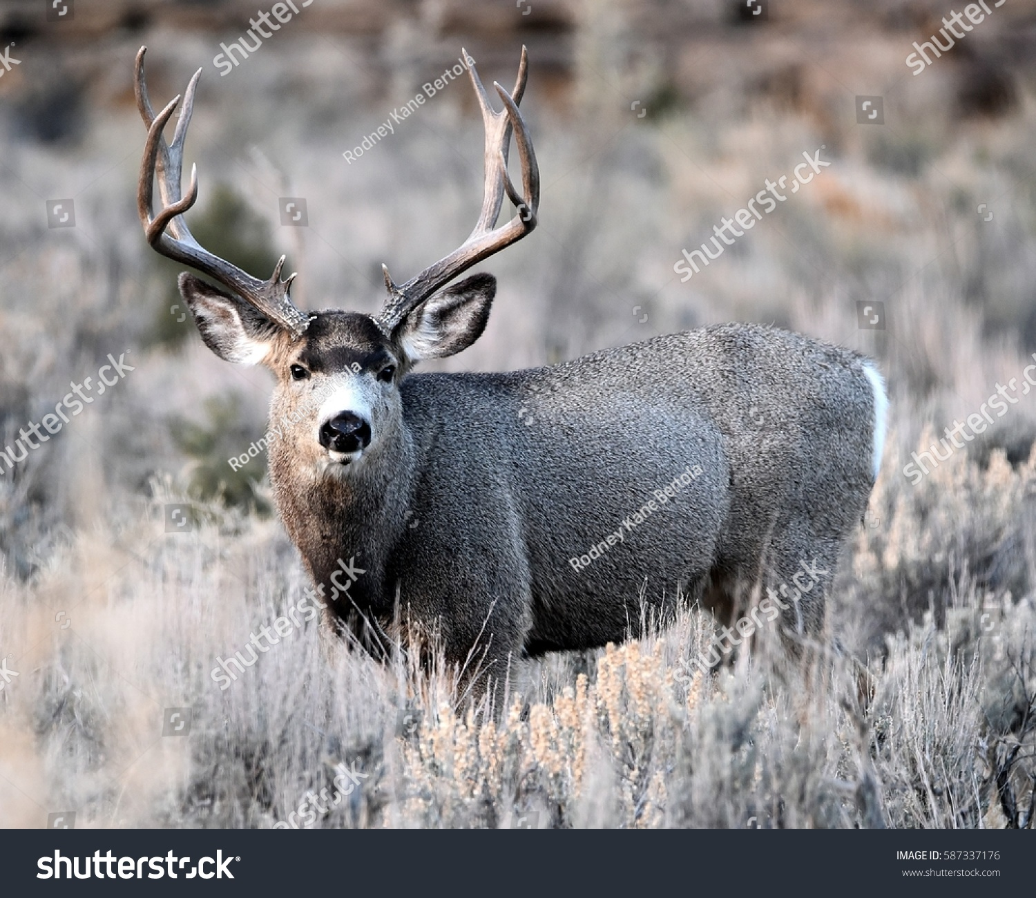 MULE DEER/BIG BUCK/MULE DEER #587337176