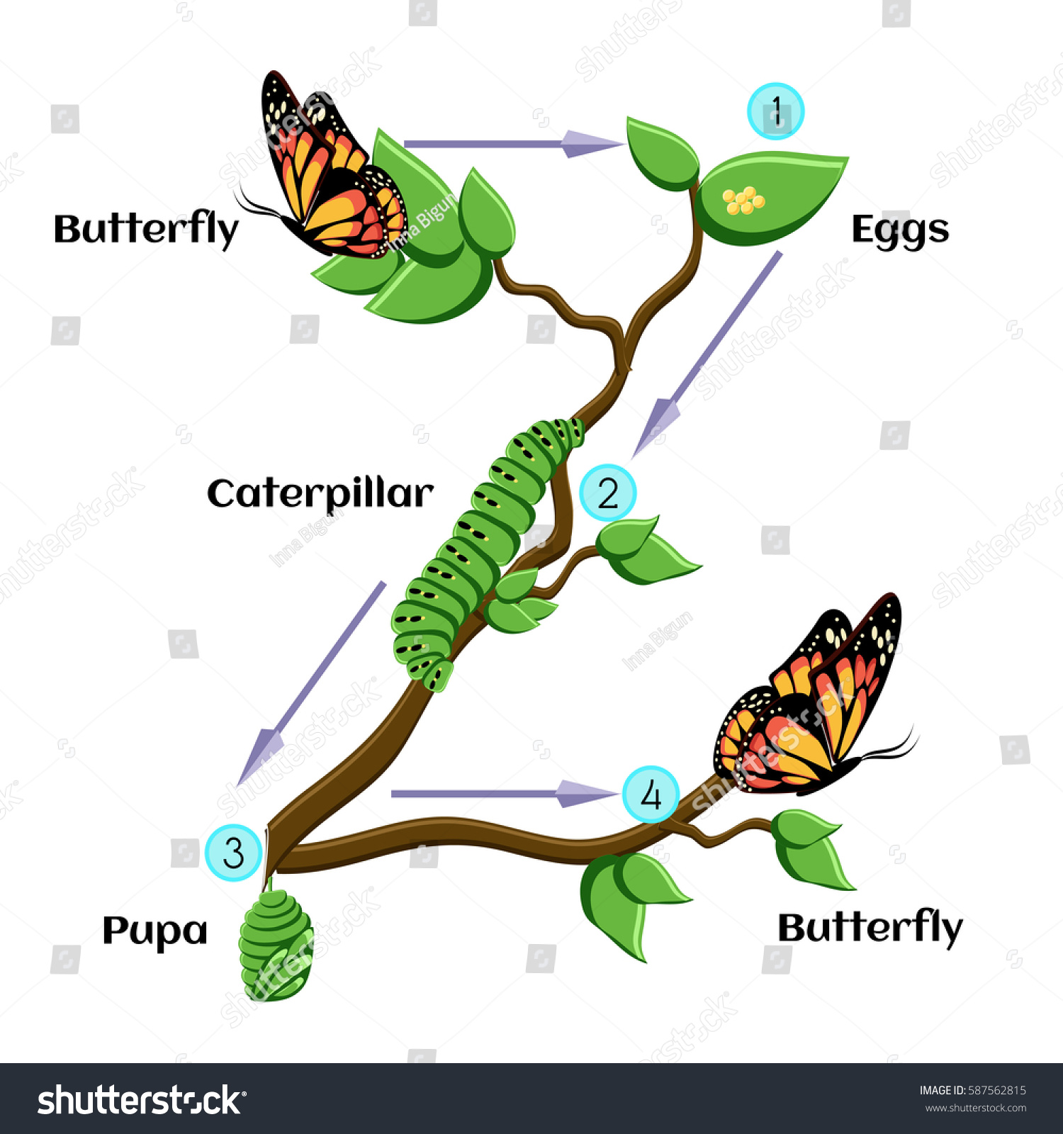 life cycle butterfly eggs caterpillar pupa stock vector 587562815