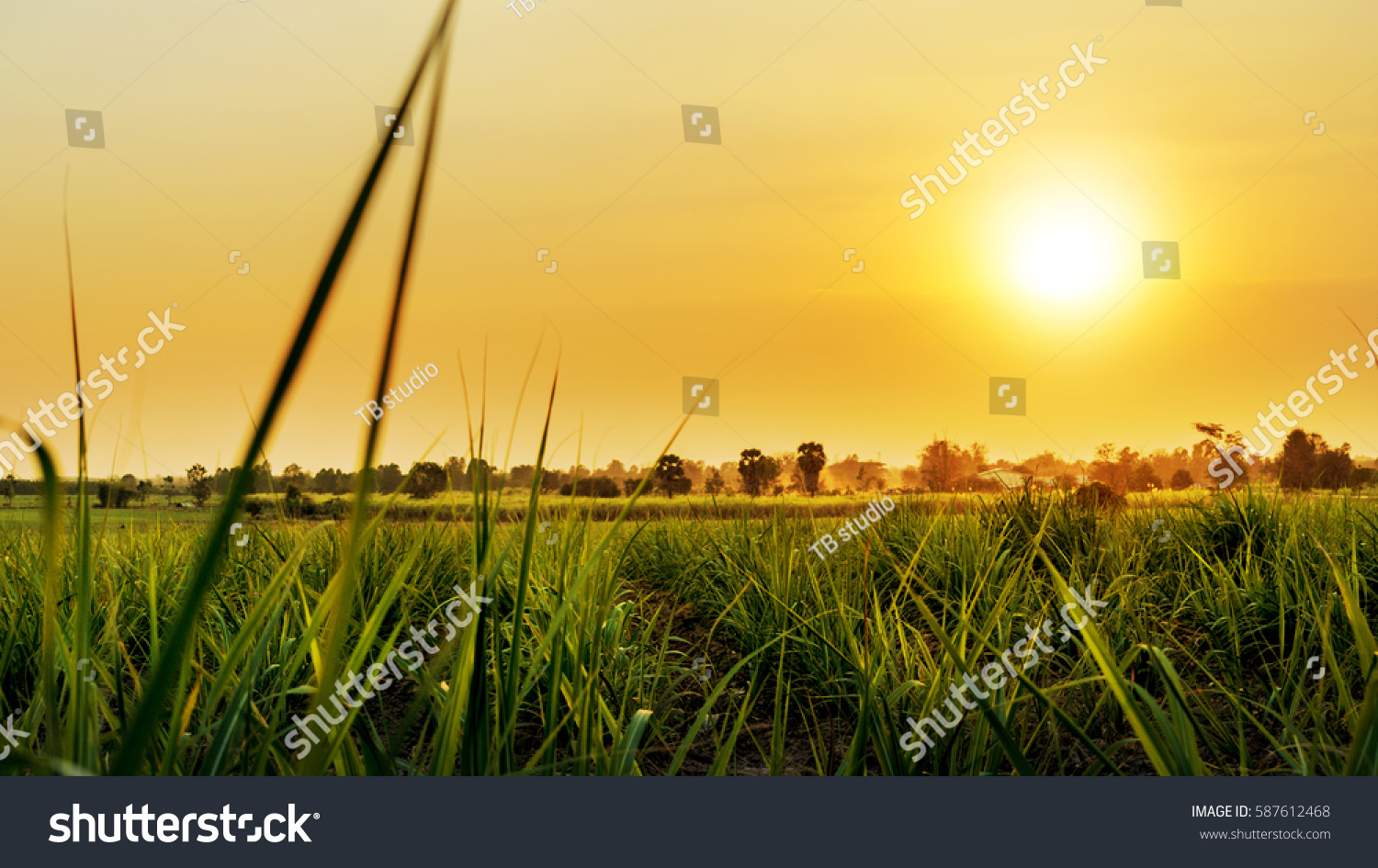 Sunset over sugar cane field #587612468