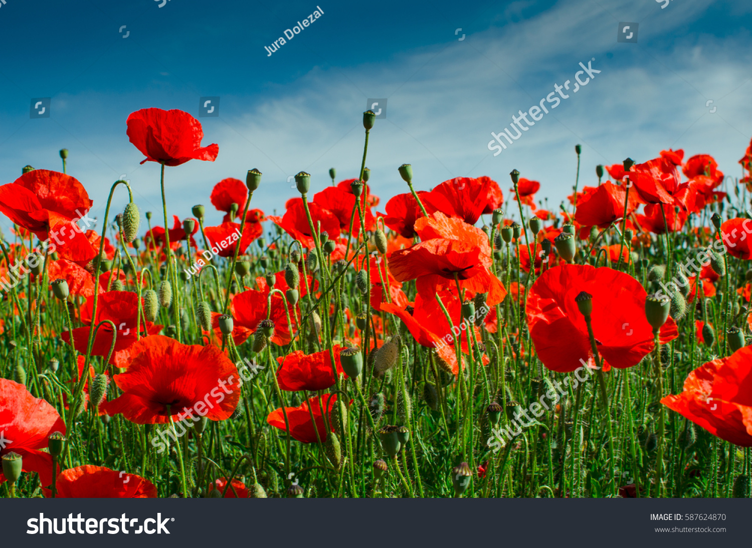 Beautiful poppy flowers field against sky stock photo 587624870 beautiful poppy flowers in a field against the sky in pastel colors relaxation serenity mightylinksfo Gallery